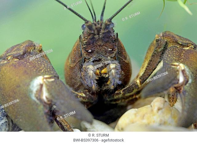signal crayfish (Pacifastacus leniusculus), male in resting position, portrait, Germany, Bavaria