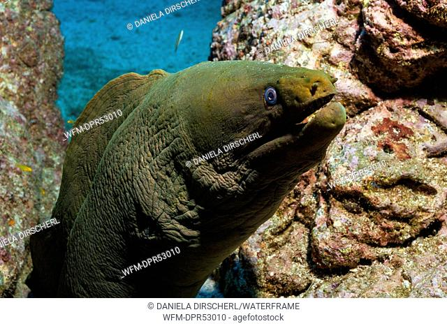 Panamic Green Moray Eel, Gymnothorax castaneus, San Benedicto, Revillagigedo Islands, Mexico
