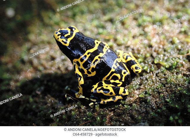 Poison Dart Frog (Dendrobates sp.). Auyán-tepui, Venezuela