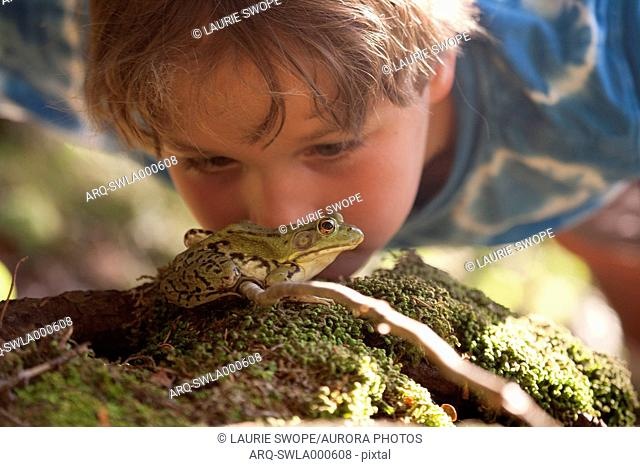 Boy watching green frog (Lithobates clamitans) in White Mountain National Forest, Lincoln, New Hampshire, USA