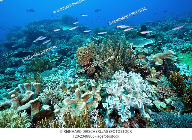 Reef of Hard Corals and Leather Corals, Acropora, Tanimbar Islands, Moluccas, Indonesia