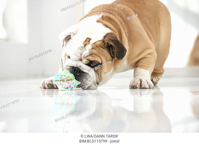 Dog eating birthday cupcake