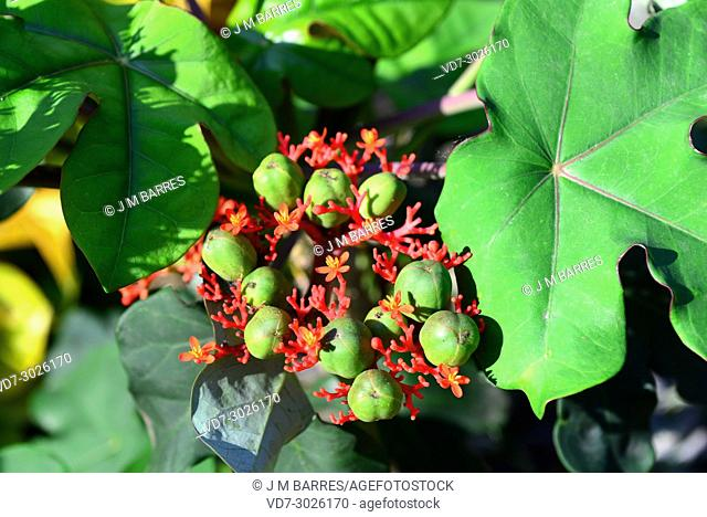 Bottleplant shrub or Buda belly plant (Jatropha podagrica) is a ornamental poisonous shrub native to tropical America. Chyathia and fruits detail