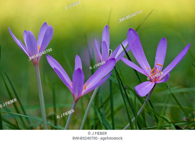 meadow saffron Colchicum autumnale, blooming in a meadow, Germany, Rhineland-Palatinate
