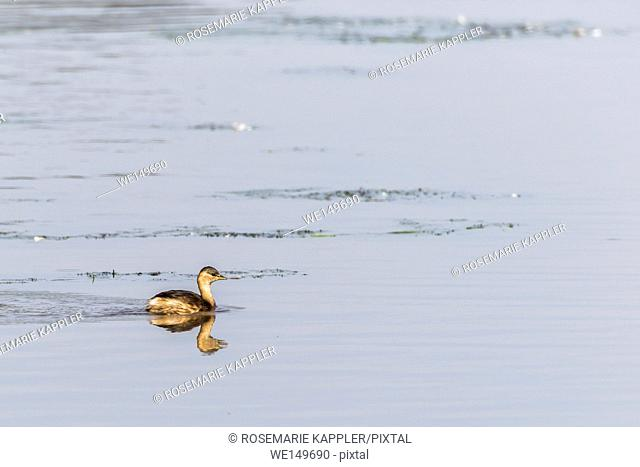 germany, saarland, homburg - A dabchick on a pond is searching for fodder