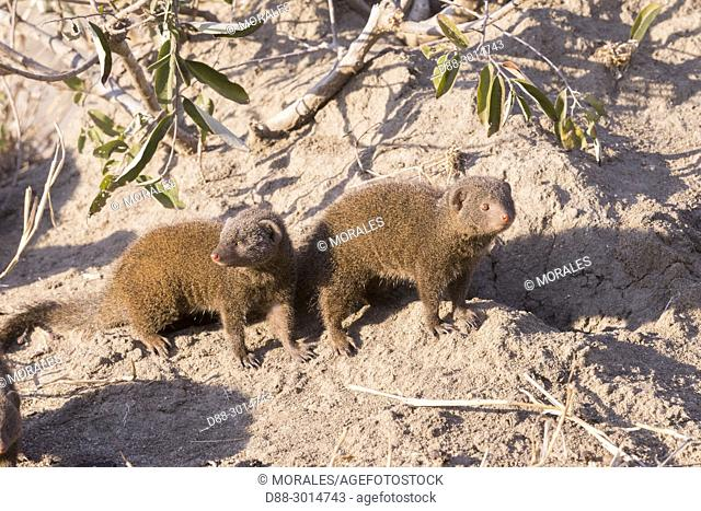 Africa, Southern Africa, South African Republic, Mala Mala game reserve, savannah, Common dwarf mongoose (Helogale parvula), group near the den