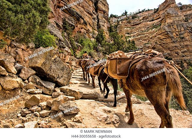 mules in the grand canyon, south kaibab trail
