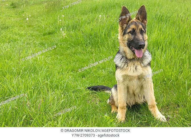 German shepherd dog. The dog is running in a green field in Bulgaria