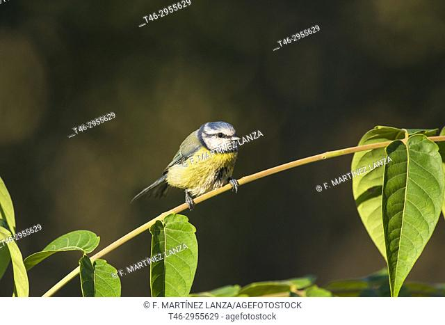 blue tit (Cyanistes caeruleus). Sierra de Guadarrama, Madrid province, Spain