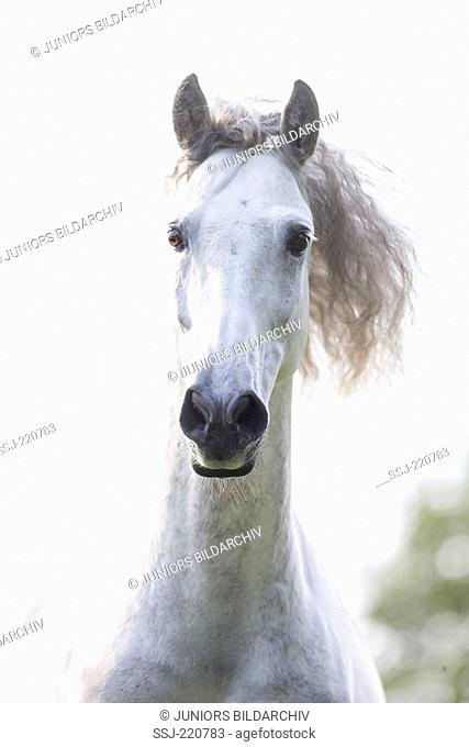 Pure Spanish Horse, Andalusian. Portrait of gray gelding with mane flowing. Germany