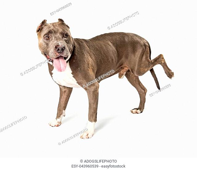 Large American Staffordshire Terrier dog standing on white lifting leg due to lameness caused by fungus from Valley Fever disease