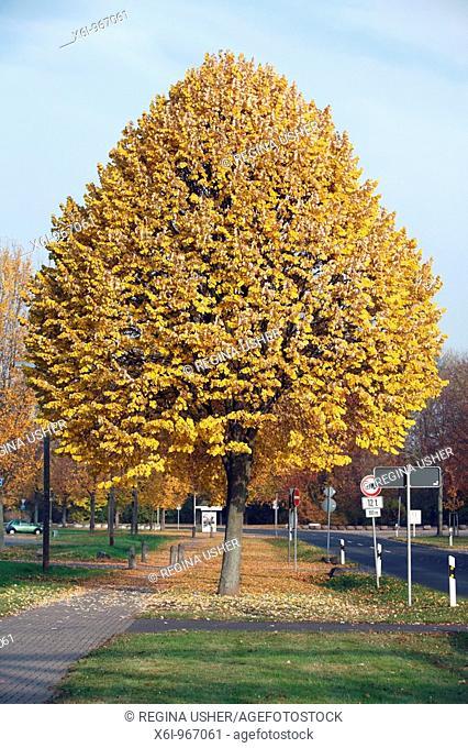 Silver Lime Tree Tilia tomentosa street tree in autumn colour, Hessen, Germany