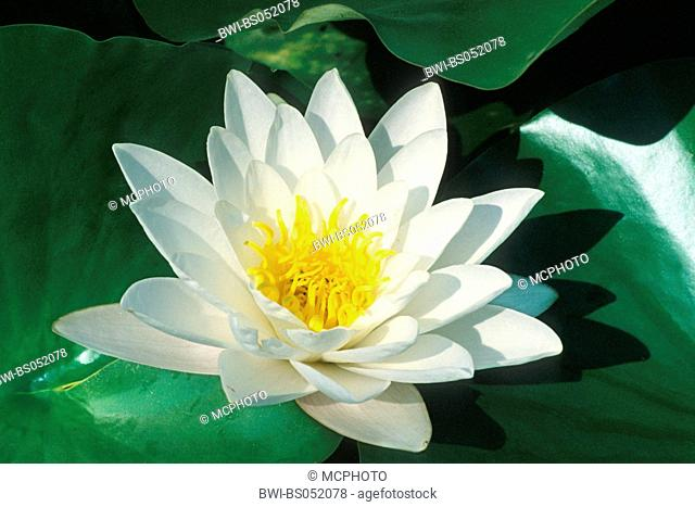 white water-lily, white pond lily (Nymphaea alba), single blossom, Germany