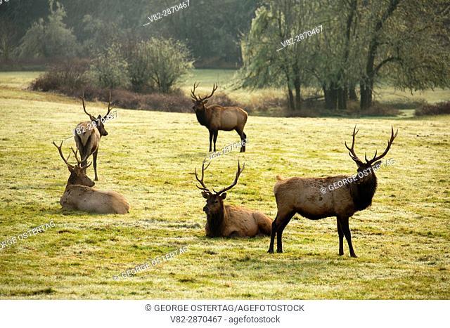 Roosevelt elk, Jewell Meadows Wildlife Area, Oregon