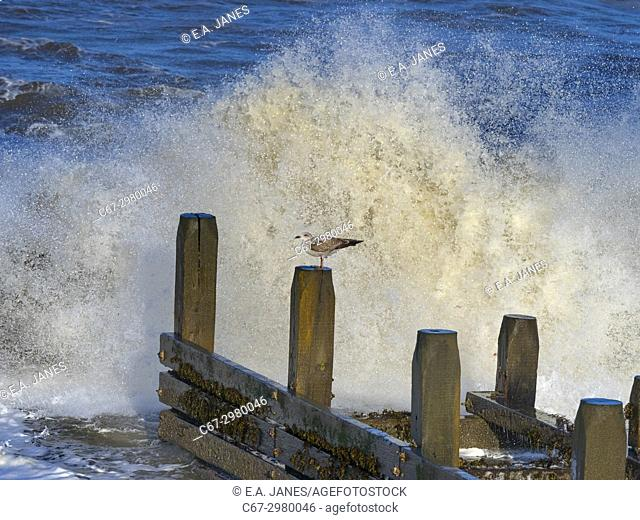 Herring Gull Larus agentatus Immatures perched on breakwater with incoming wave