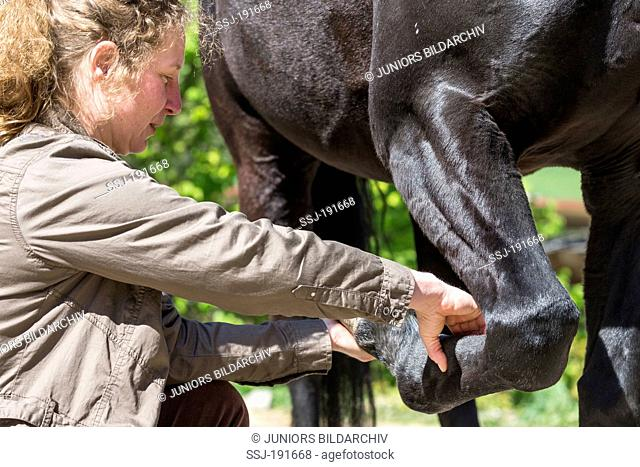 Vet examing the leg tendons of a warmblooded black horse. Germany