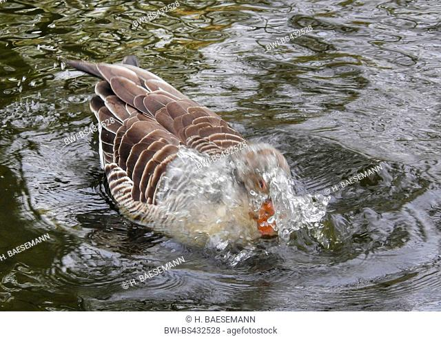 greylag goose (Anser anser), bathing , Germany