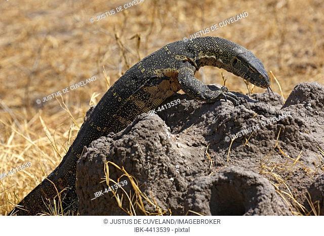 Nile monitor (Varanus niloticus), lizard, foraging, termite mound, Serengeti National Park, Tanzania