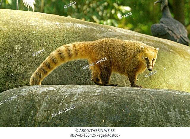 Ring-tailed Coati Southern Coati