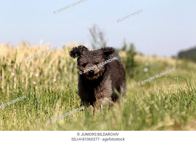 Pumi, Hungarian Herding Terrier. Gray bitch running on a meadow. Germany