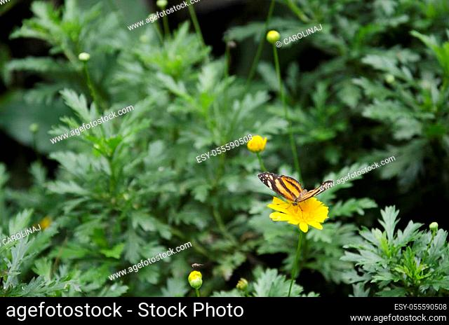 Isabella's longwing / Isabella's heliconian (Eueides Isabella) on a yellow flower
