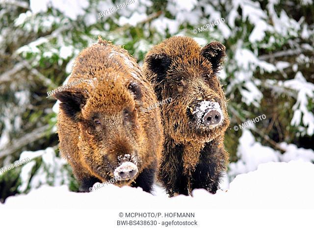 wild boar, pig, wild boar (Sus scrofa), two wild boars on the feed in snow, Germany