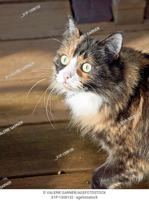 This pet portrait is a closeup of a green eyed calico kitty wiht black and tan long fur Background intentionally blurred to emphasize subject
