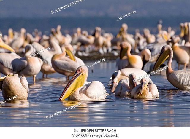 great white Pelicanus, PELECANUS ONOCROTALUS, NAKURU NATIONAL PARK, KENYA, EAST Africa - NAKURU NATIONAL PARK, KENYA, 24/09/2008
