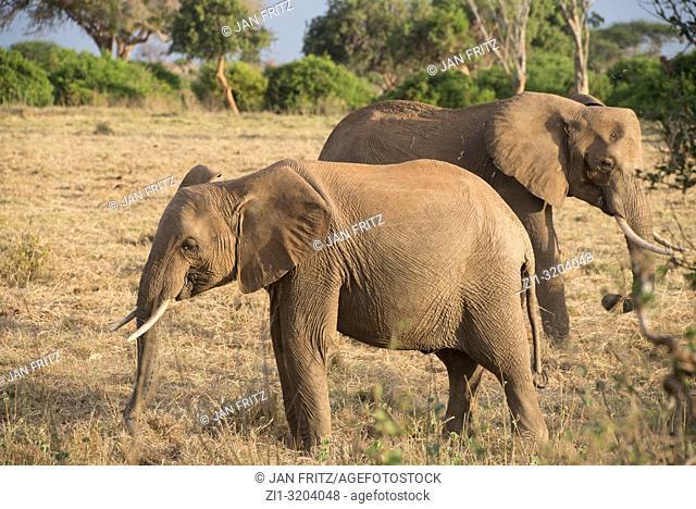 elephant in Tsavo East Wildpark, Kenya