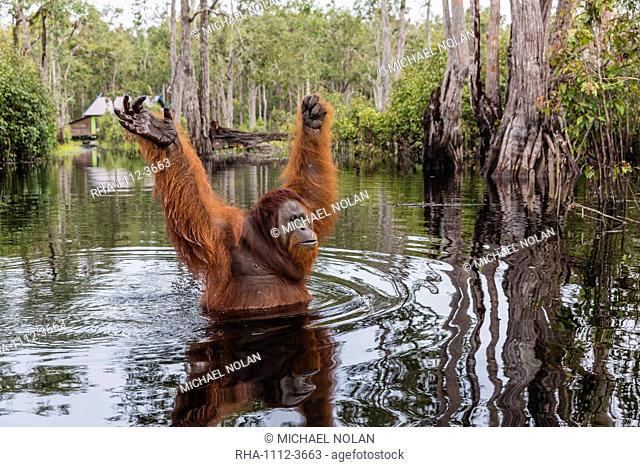 Wild male Bornean orangutan (Pongo pygmaeus), on the Buluh Kecil River, Borneo, Indonesia, Southeast Asia, Asia