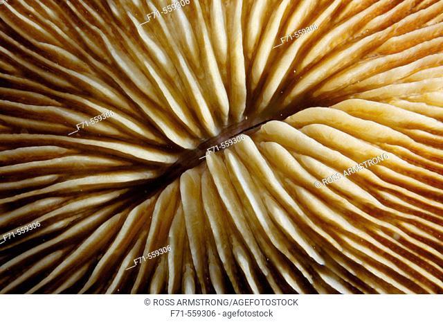 Mushroom coral detail (Fungia sp.). Ha'apai Group. Tonga. South Pacific Ocean