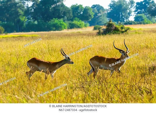 Red lechwe (antelope), near Kwara Camp, Okavango Delta, Botswana