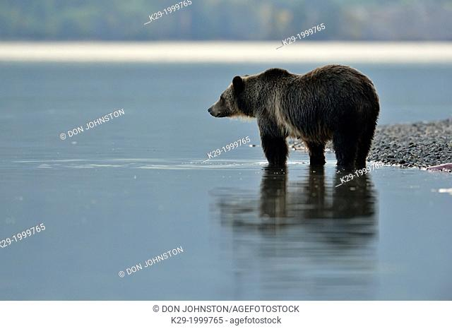 Grizzly bear (Ursus arctos)- Looking for salmon along the shoreline of Chilko Lake. Chilcotin Wilderness, BC Interior, Canada