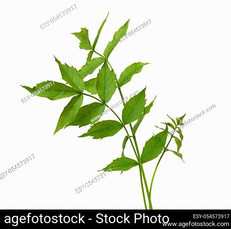 Campsis branch with green leaves isolated on white background, close up
