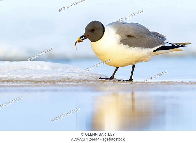 Sabine's Gull (Xema sabini) feeding on a small pond on the tundra in Northern Alaska