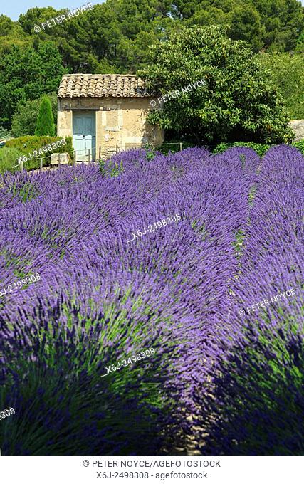 The lavender field in full bloom and stone building at Maison de Sante Saint Paul Monastery at Saint Remy