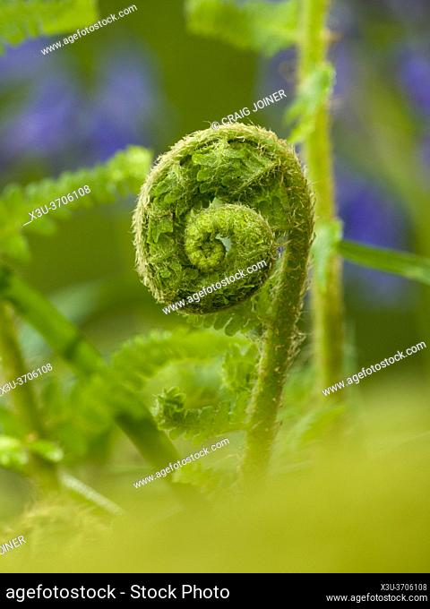 A young frond of a fern unfurling in spring in the Mendip Hills, Somerset, England