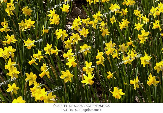 A mass planting of yellow daffodils in a garden in the spring
