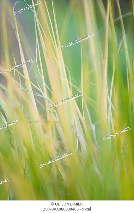 Tall grass, close-up