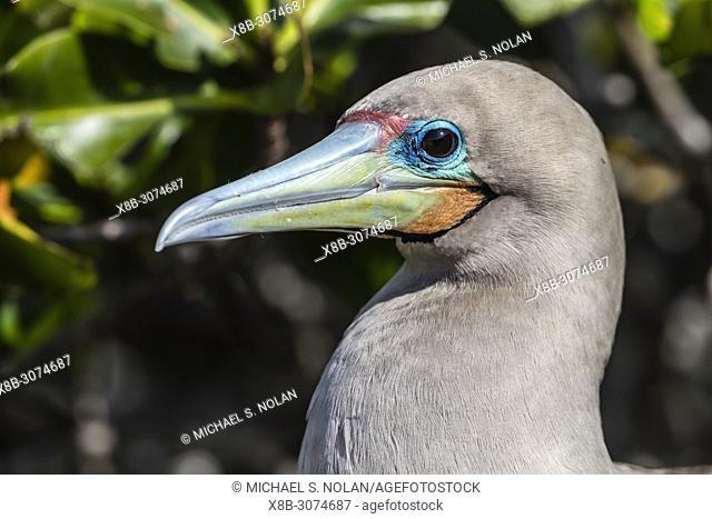 Adult red-footed booby, Sula sula, on nest on Genovesa Island, Galápagos, Ecuador