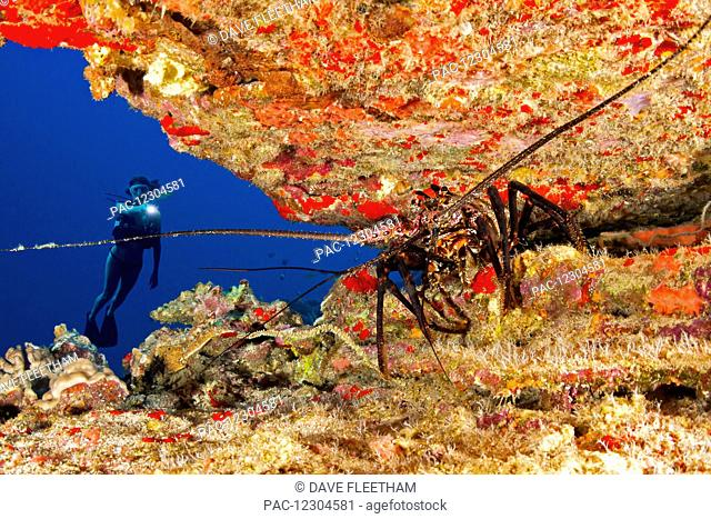 Diver and a banded spiny lobster (Panulirus marginatus), an endemic species; Hawaii, United States of America