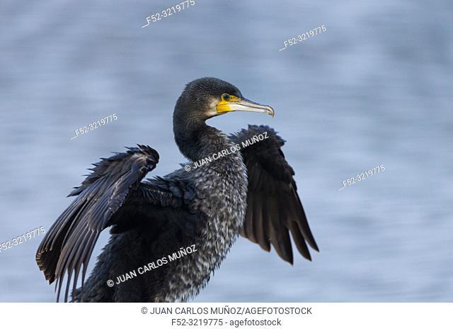 Great Cormorant (Phalacrocorax carbo), The Danubio Delta, Periprava, Romania