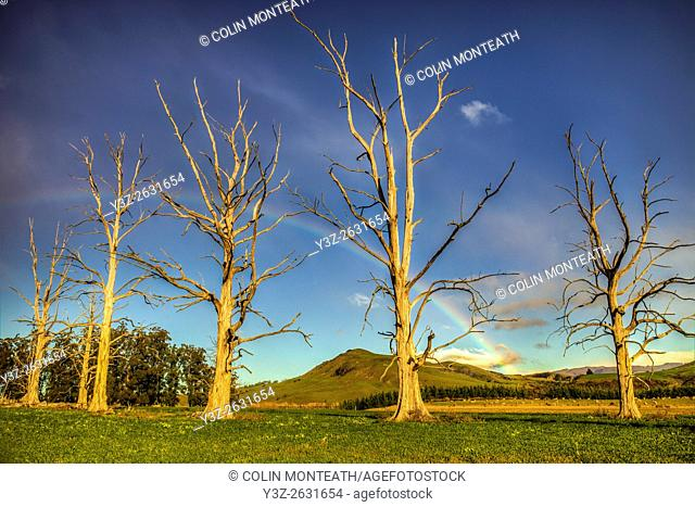 Rainbow over dead trees, Cheviot, North Canterbury