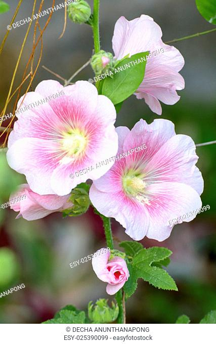 Alcea, commonly known as hollyhocks, is flowering plants in the mallow family. The flowers may be solitary or arranged in fascicles or racemes