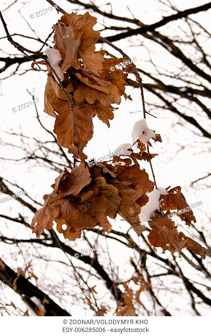 Dry brown leaves on a tree branch