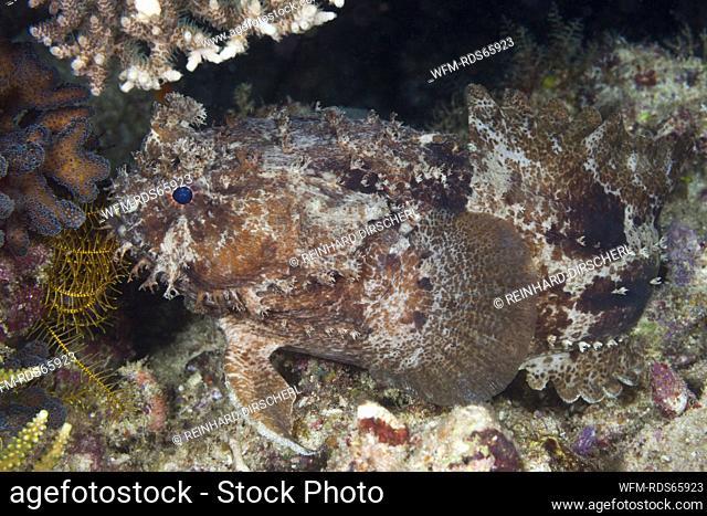 Banded Toadfish, Halophryne diemensis, Raja Ampat, West Papua, Indonesia