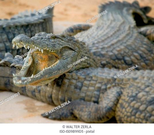 Open mouthed crocodiles on wildlife park beach, Djerba, Tunisia