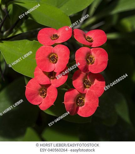 Crown of Thorns or Christ Plant (Euphorbia milii), native to Madagascar. Botanical Garden, kit, Karlsruhe, Germany, Europe