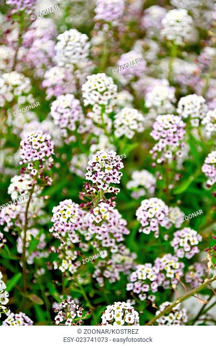 Alyssum white and lilac