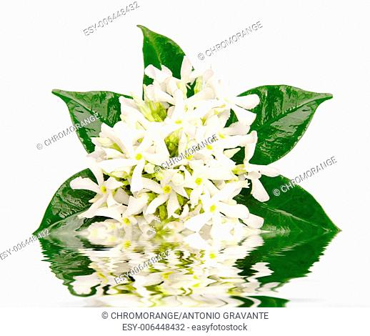Jasmine flowers with reflection in water on white background